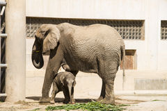 A big elephant and little elephan. Asia China, Beijing, zoo, indoor exhibition hall, mammal, a big elephant and little elephan Royalty Free Stock Image