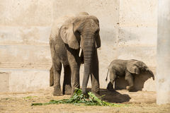 A big elephant and little elephan. Asia China, Beijing, zoo, indoor exhibition hall, mammal, a big elephant and little elephan Royalty Free Stock Photography
