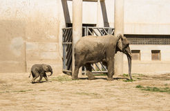 A big elephant and little elephan. Asia China, Beijing, zoo, indoor exhibition hall, mammal, a big elephant and little elephan Royalty Free Stock Images