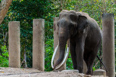 Big elephant long ivory. Royalty Free Stock Image