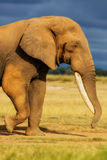 Big Elephant male. With amazing tusks in Amboseli National Park in Kenya stock images