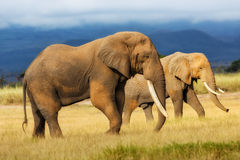 Big Elephant male. Elephant male with female in the background in Amboseli National Park in Kenya royalty free stock photography