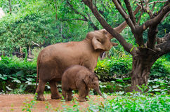 Big elephant mother and small baby. Elephant family eating - mother and small baby in tropical royalty free stock photo