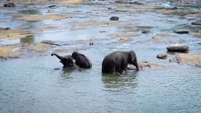 Big elephant mother with two her baby elephants are bathing in a river in sunny day, splashing from long nose. Wild tropical fauna stock footage