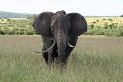 Big elephant in a national reserve Royalty Free Stock Photos