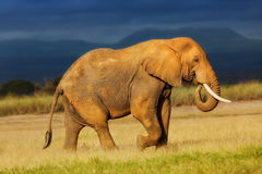 Big Elephant before the rain. Big Elephant eating grass before the rain in Amboseli National Park in Kenya royalty free stock photography