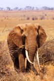 Big Elephant - Safari Kenya Royalty Free Stock Images