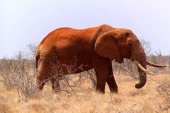 Big Elephant - Safari Kenya. A big elephant covered with red mud, in Kenya Stock Photo