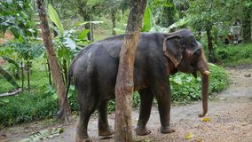 Big Elephant Scratching his Body Against a Tree. Thailand Rain Forest Nature Animals. HD Slowmotion. Big Asian Elephant Scratching his Body Against a Tree stock video footage