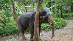 Big elephant scratching his head against a tree. Thailand rain forest nature animals. HD Slowmotion. Big Asian Elephant Scratching his Head Against a Tree stock footage