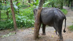 Big Elephant Scratching his Neck Against a Tree. Thailand Rain Forest Nature Animals. HD Slowmotion. Big Asian Elephant Scratching his Neck Against a Tree stock video footage