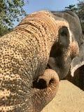 Big elephant from Sri lanka royalty free stock images