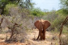 Big elephant standing in the savannah Stock Image