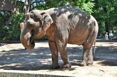 Big elephant with tusks. Single elephant walking in park Safari Stock Photography