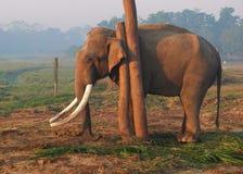 Big Elephant with tusks Royalty Free Stock Photography