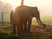 Big Elephant with tusks Stock Photos