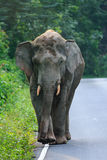 A big elephant walking along the outskirt road. In the mountain Royalty Free Stock Photo