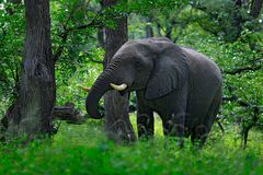 Big elephant walking in the grass with blue sky. Huge mammal in nature habitat, green vegetation, with tress in the background,. Botswana, Africa royalty free stock image