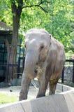 Big elephant with wrinkled grey skin Royalty Free Stock Image