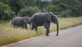 Big elephant with young baby elephant  in kruger park Royalty Free Stock Images