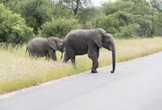 Big elephant with yung  in kruger park Stock Photo