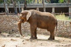 Big elephant at zoo safari park. Big male elephant at zoo safari park royalty free stock photos