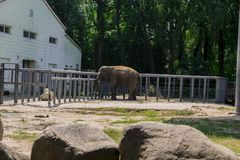 Elephant at the zoo. Big elephant at the zoo royalty free stock image