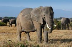 Big elephants in Amboseli National park stock images