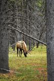 Big Elk (Cervus canadensis) at Yellowstone Park. Big Elk eating grass in forest at Yellowstone park Stock Image