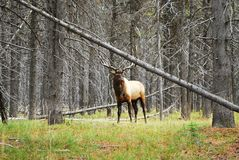 Big Elk (Cervus canadensis) at Yellowstone Park. Elk (Cervus canadensis) stand in forest at Yellowstone Park Stock Photography