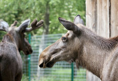 The big elk close up portrait Royalty Free Stock Images