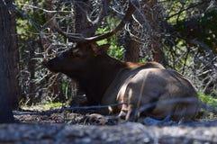 Big Elk Royalty Free Stock Image