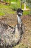 Big emu Stock Photo