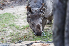 Big endangered indian rhinoceros Royalty Free Stock Photo