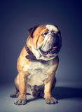 Big English bulldog Royalty Free Stock Photos