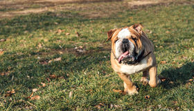 Big English bulldog Royalty Free Stock Photography