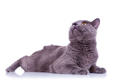 Big english cat looking up Royalty Free Stock Photo