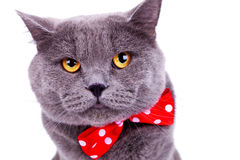 Big english cat wearing a red bow tie Royalty Free Stock Images