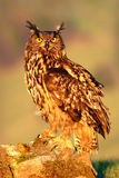 Big Eurasian Eagle Owl, bird sitting on the stone in the meadow with catch hedgehog. Beautiful rare owl in the nature habitat. Ani Stock Photo