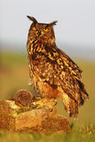 Big Eurasian Eagle Owl, bird sitting on the stone in the meadow with catch hedgehog. Beautiful rare owl in the nature habitat. Ani Stock Images