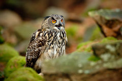 Big Eurasian Eagle Owl, Bubo bubo, with open bill in rock with green moss Royalty Free Stock Image