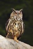 Big Eurasian Eagle Owl with kill hedgehog in talon, sitting on stone Royalty Free Stock Photography