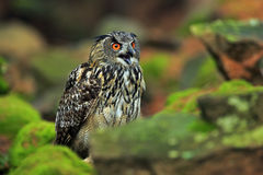 Big Eurasian Eagle Owl sitting on green moss stone Royalty Free Stock Photography