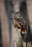 Big Eurasian Eagle Owl sitting on the stump in dark forest Royalty Free Stock Photos