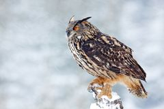 Big Eurasian Eagle Owl with snowy stump with snow flake during winter, Czech republic. First snow with bird. Winter with big white Stock Photography