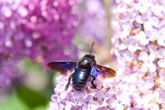 Big European bee on lilac Royalty Free Stock Photos