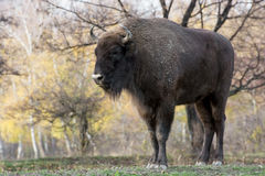 Big European bison (Bison bonasus) Royalty Free Stock Images