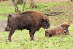 Big european bison Royalty Free Stock Photos