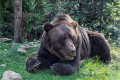 Big European Brown bear lying in the green grass in forest. Huge bear paws with long claws. royalty free stock images