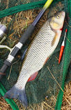 Big European Chub (Squalius cephalus) Stock Images